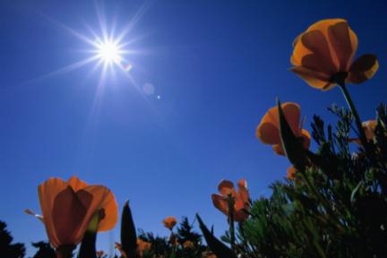 Sunburst Flower